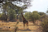 Kavango River - Nunda Lodge - Morning Game Drive - Giraffe
