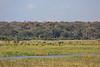 Kavango River - Nunda Lodge Game Drive - Buffalo in the Distance