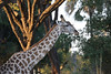 Victoria Falls - Zambezi River Sunset Cruise - Giraffe at Dusk 113