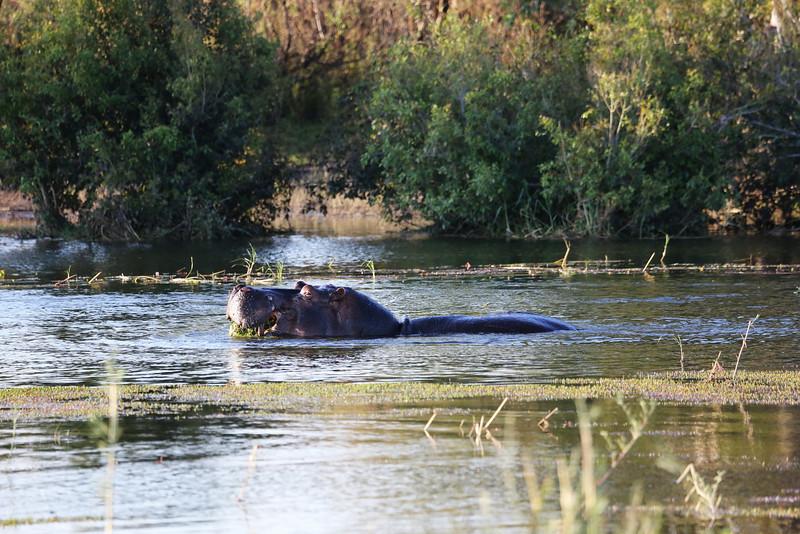 Victoria Falls - Zambezi River Sunset Cruise - Hippo 64