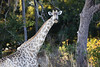 Victoria Falls - Zambezi River Sunset Cruise - Giraffe at Dusk 112