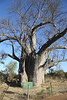 Victoria Falls - The Big Tree (Baobab)