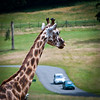 Longleat.. a place to mix giraffes and cars