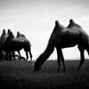 Camels (doh)
