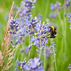 A bee on lavender at Buckfastleigh