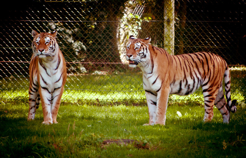 Your tiger photos would be blurry too if you had to take them through our filthy windscreen, so shut it.