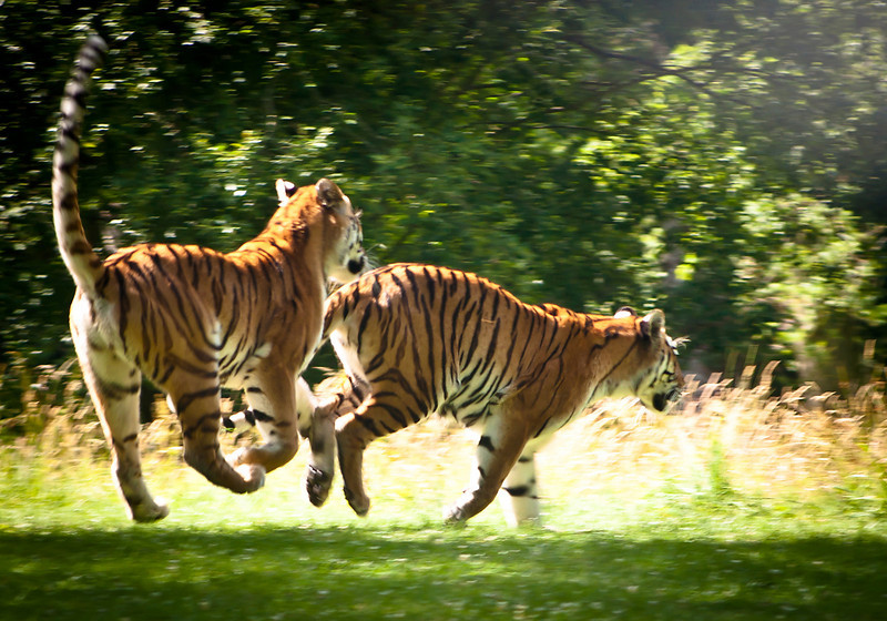 Trying to photograph tigers galloping across Wiltshire through a windscreen whilst driving is not easy