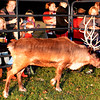 Debbie Blank | The Herald-Tribune<br /> Several reindeer that live at Whitetail Acres Nursery & Landscaping, Brookville, greeted visitors to Sunman Celebrates the Season, sponsored by the Sunman Area Chamber of Commerce, Friday, Nov. 18, between 5-8 p.m. at Kenneth L. Diver American Legion Post 337.