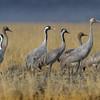 Demoiselle cranes.