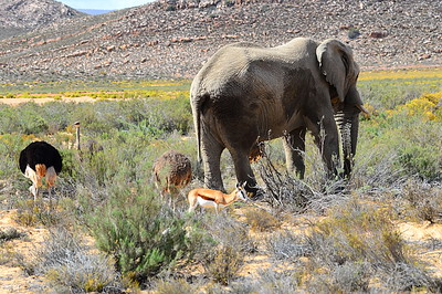 Elephant in Aquila Private Game Reserve.