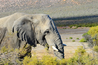 Afrikan elephant in https://www.facebook.com/Aquilasafari/