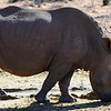 African rhino in Aquila Private Game Reserve.