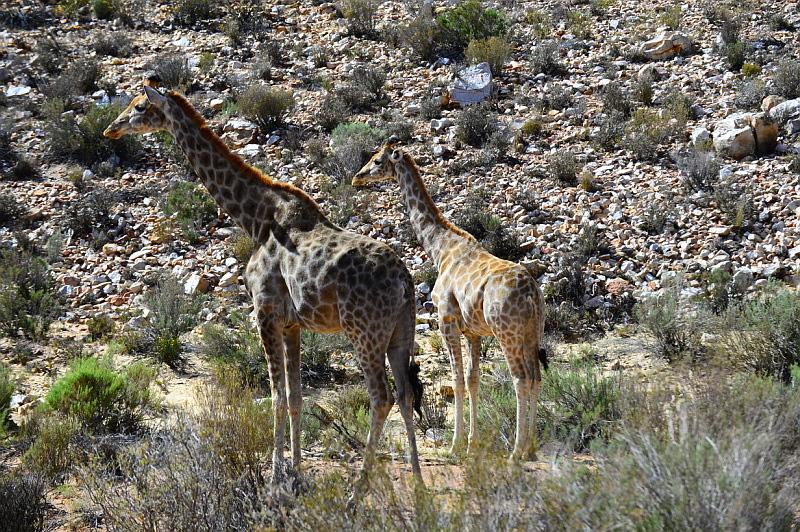 two female giraffes