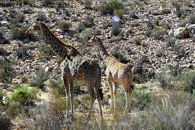 two female giraffes