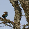 On the way in from the airstrip...a lilac breasted roller.