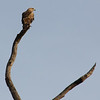 A tawny eagle (we think).
