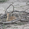 One of the smallest antelopes, a Dik-dik (normally come in pairs and mate for life). Very cute!