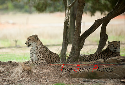 Cheetahs relaxing at Werribee wildlife park.