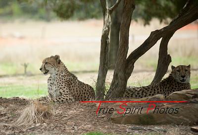 Cheetahs relaxing at Werribee wildlife park.