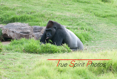 This gorilla was showing no signs of a stressful day. I waited ages for him/her to stand up & do something different, but this was all i got. Very beautiful though.