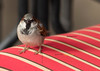 bird on stripe chair 2784