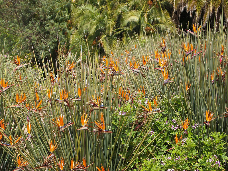 The first stop I selected on the Blue mini peninsular tour was the Kirstenbosch Botanical gardens, at the foot of Table Mountain