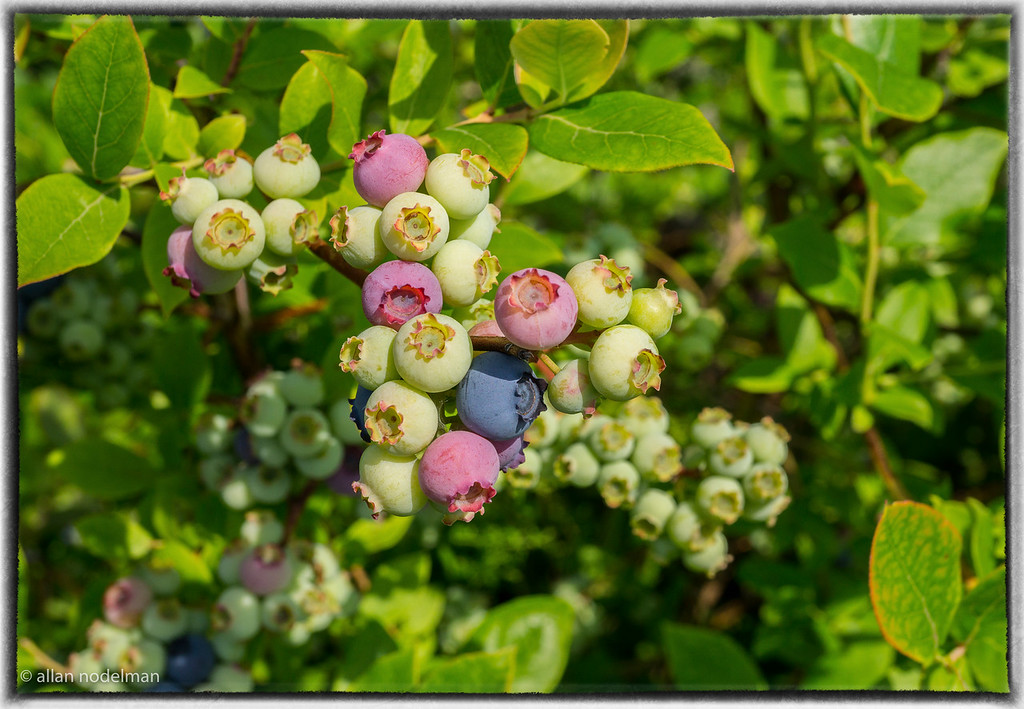 Blueberries at Various Stages of Ripening