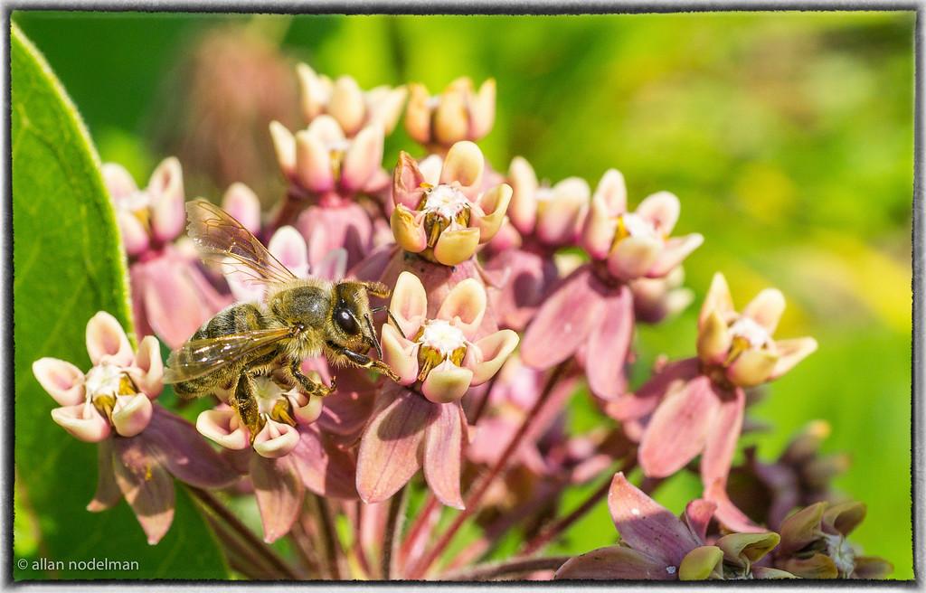 Bee enjoying milkweed at Kingsbrae Gardens