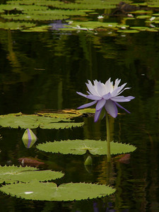 20070527_2838 Water lilies at the Palmetum, Townsville.