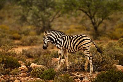 Zebra  Baby  4 month
