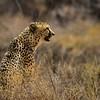 Cheeta lookin after food