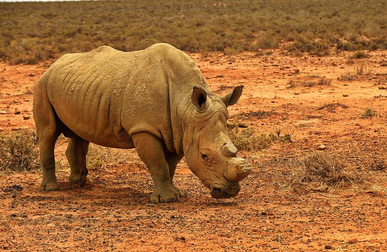 Rhinoceros. inverdorn,