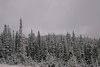 Highway to Yellowstone - Snowclad Pinces