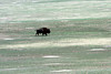 Badlands - Buffalo on Grasslands - 006