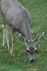 Custer State Park - Deer - 007