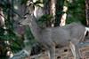 Custer State Park - Deer - 044