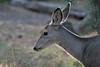Custer State Park - Deer - 026