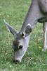 Custer State Park - Deer - 012