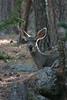 Custer State Park - Deer - 029