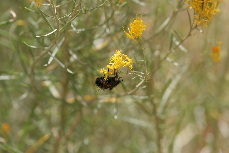 Zion - Emerald Pools Trail - Bees in Bush - 002