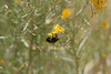 Zion - Emerald Pools Trail - Bees in Bush - 002