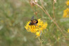 Zion - Emerald Pools Trail - Bees in Bush - 004