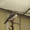 Pygmy Hawk at the National Zoo. This is as big as they get.
