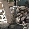 Meerkat on lookout duty at National Zoo