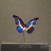 Morpho Butterfly demonstrating the same iridescent sheen as present in rocks.