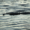 Alligator cruising
