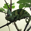 Green Day for a Chameleon at the National Zoo