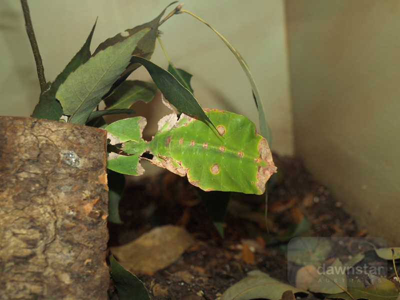 Leaf Insect at the Smithsonian museum of Natural History (Alive exhibit)