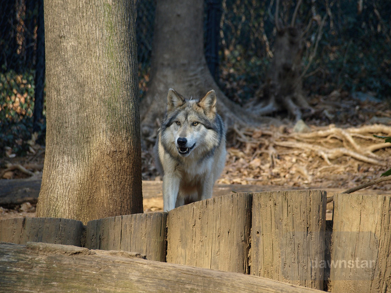 Wolf at the National Zoo