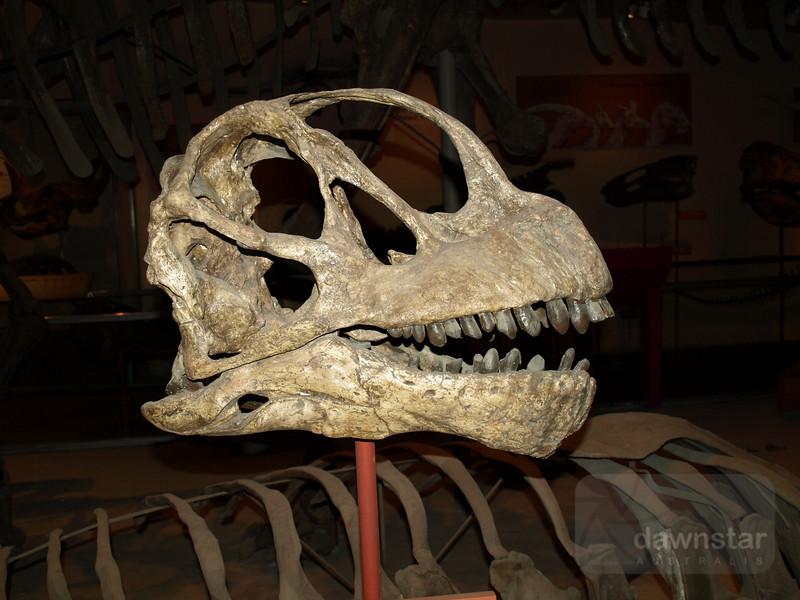Fossil dinosaur skull